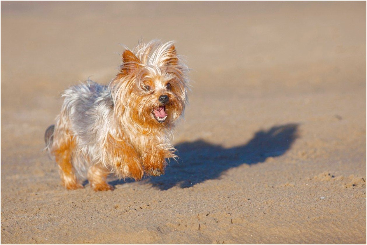 pics of a yorkshire terrier