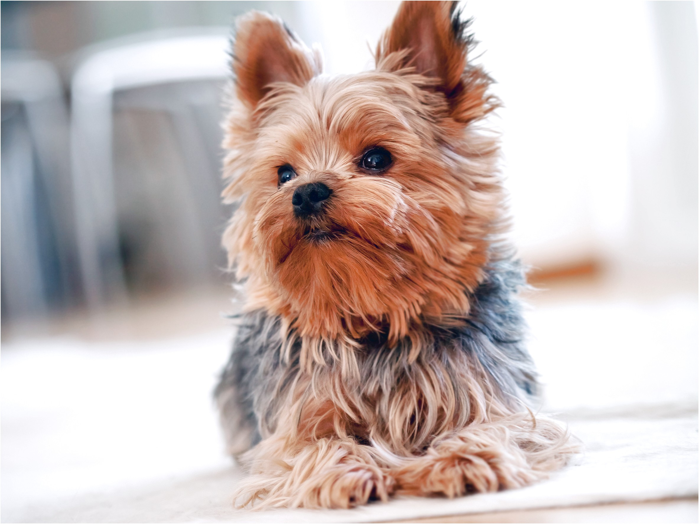 picture of a yorkshire terrier puppy