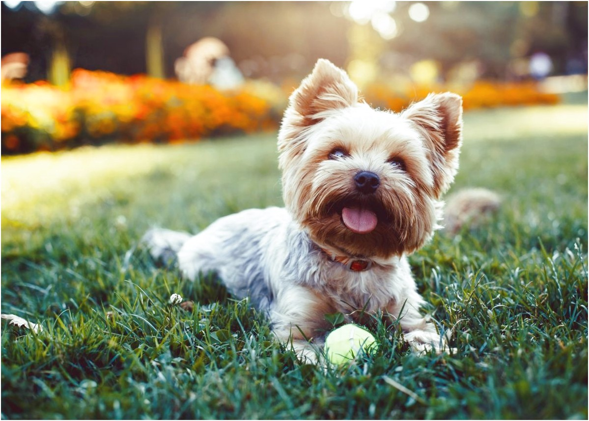 pictures of a yorkie terrier