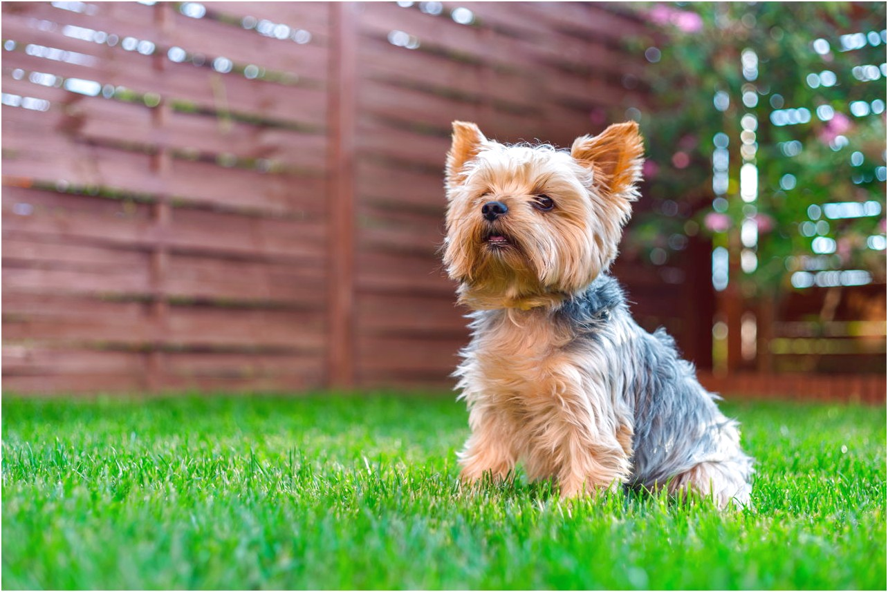 pictures of a yorkshire terrier dog