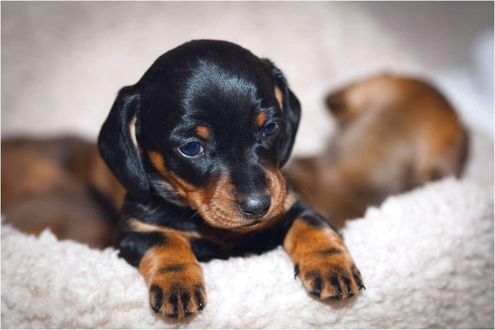 pictures of baby dachshund puppies