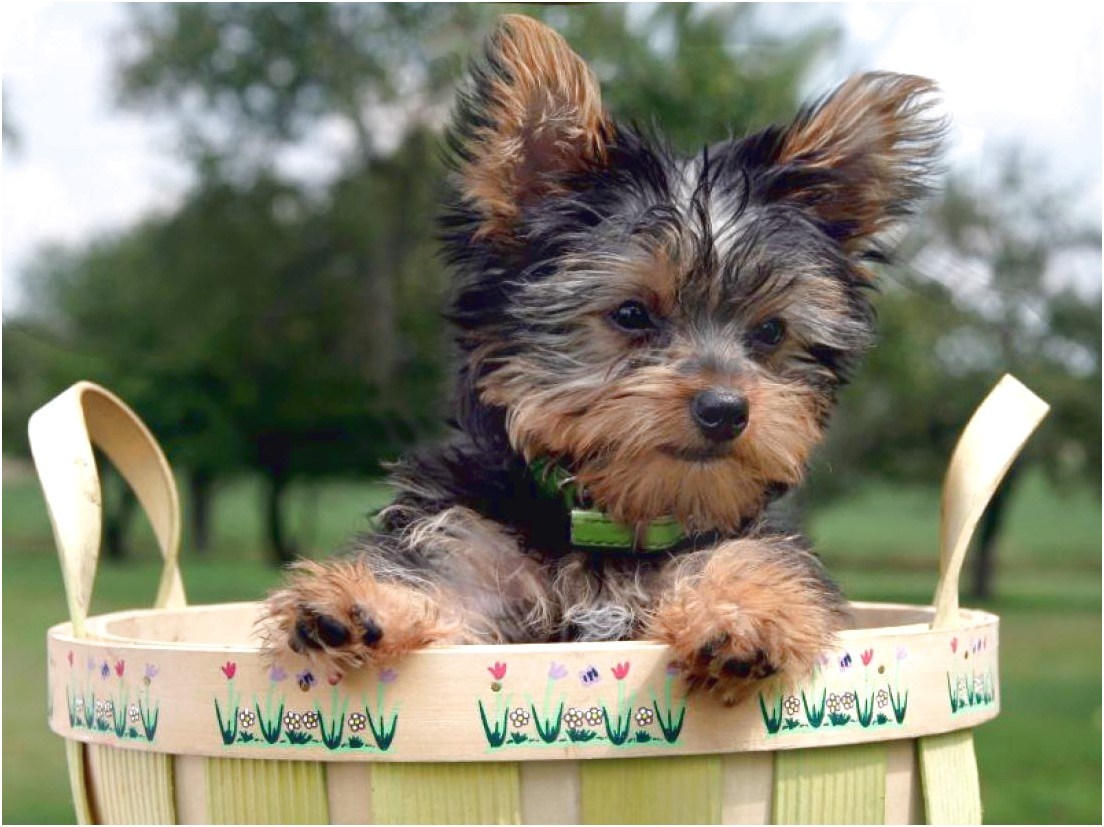 pictures of cute yorkshire terriers