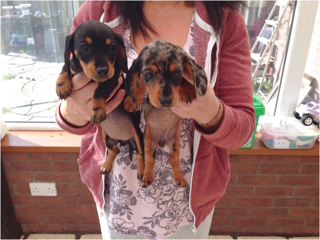 pictures of dachshund puppies for sale