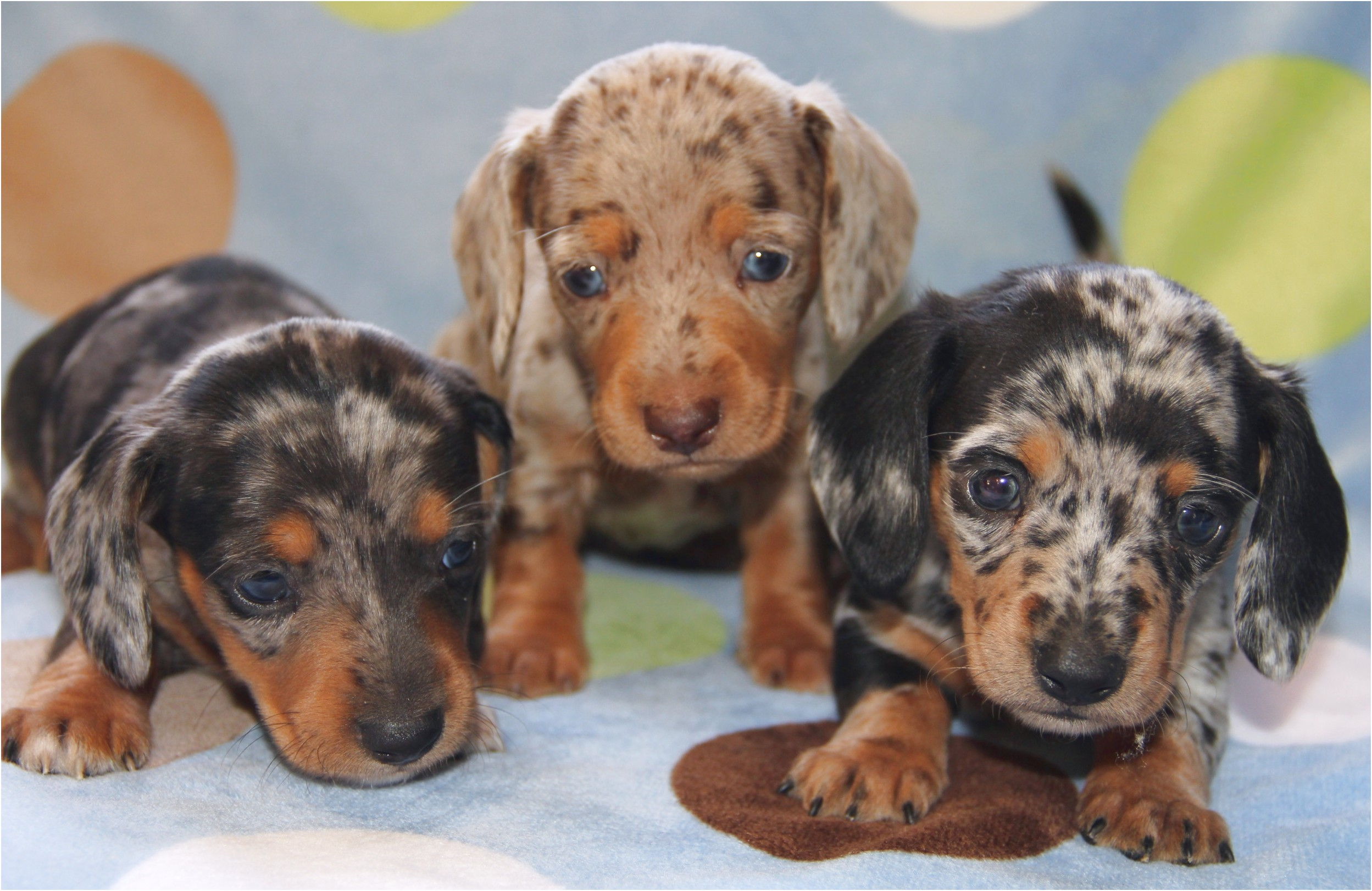 pictures of dapple dachshund puppies