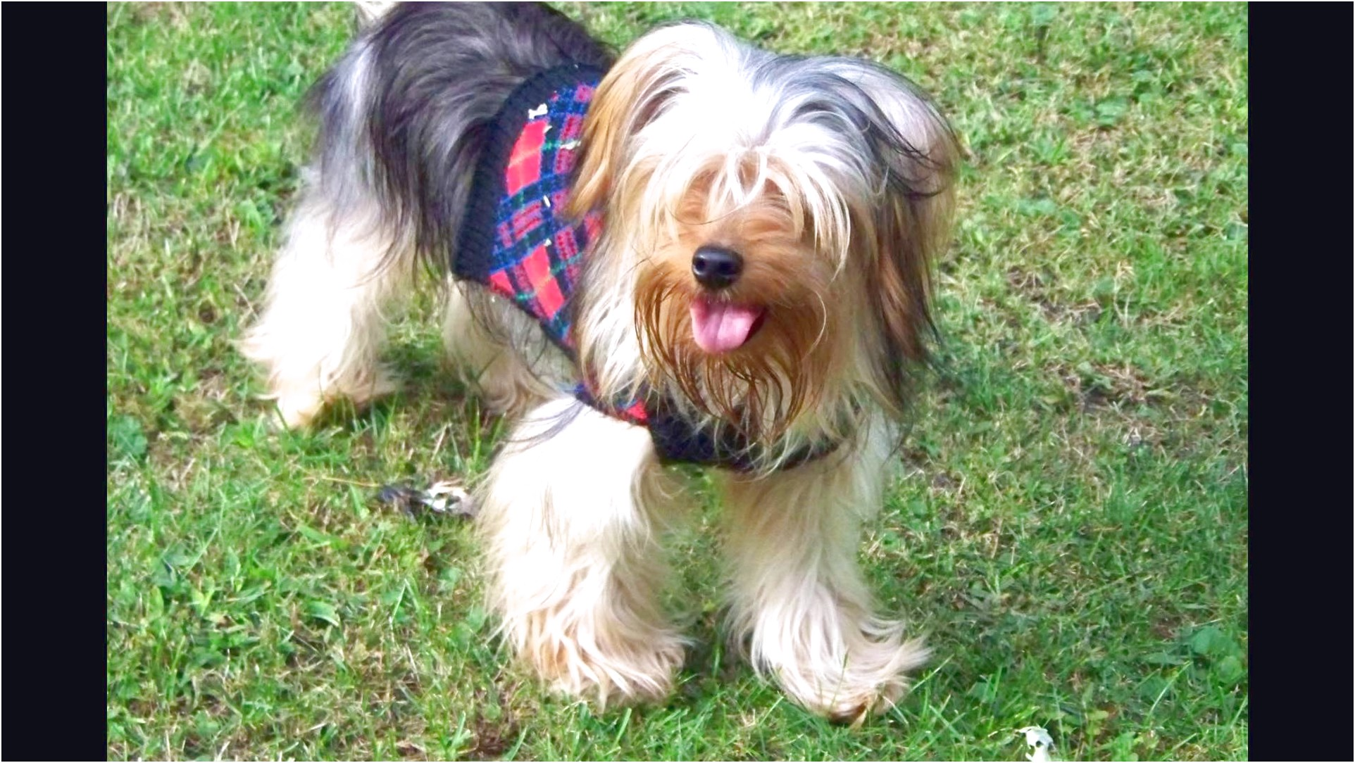 pictures of large yorkshire terriers