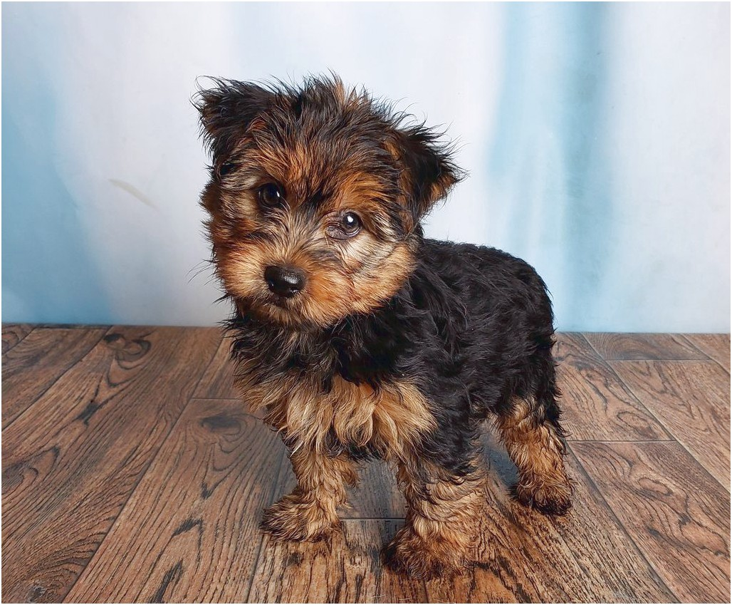 pictures of male yorkshire terriers
