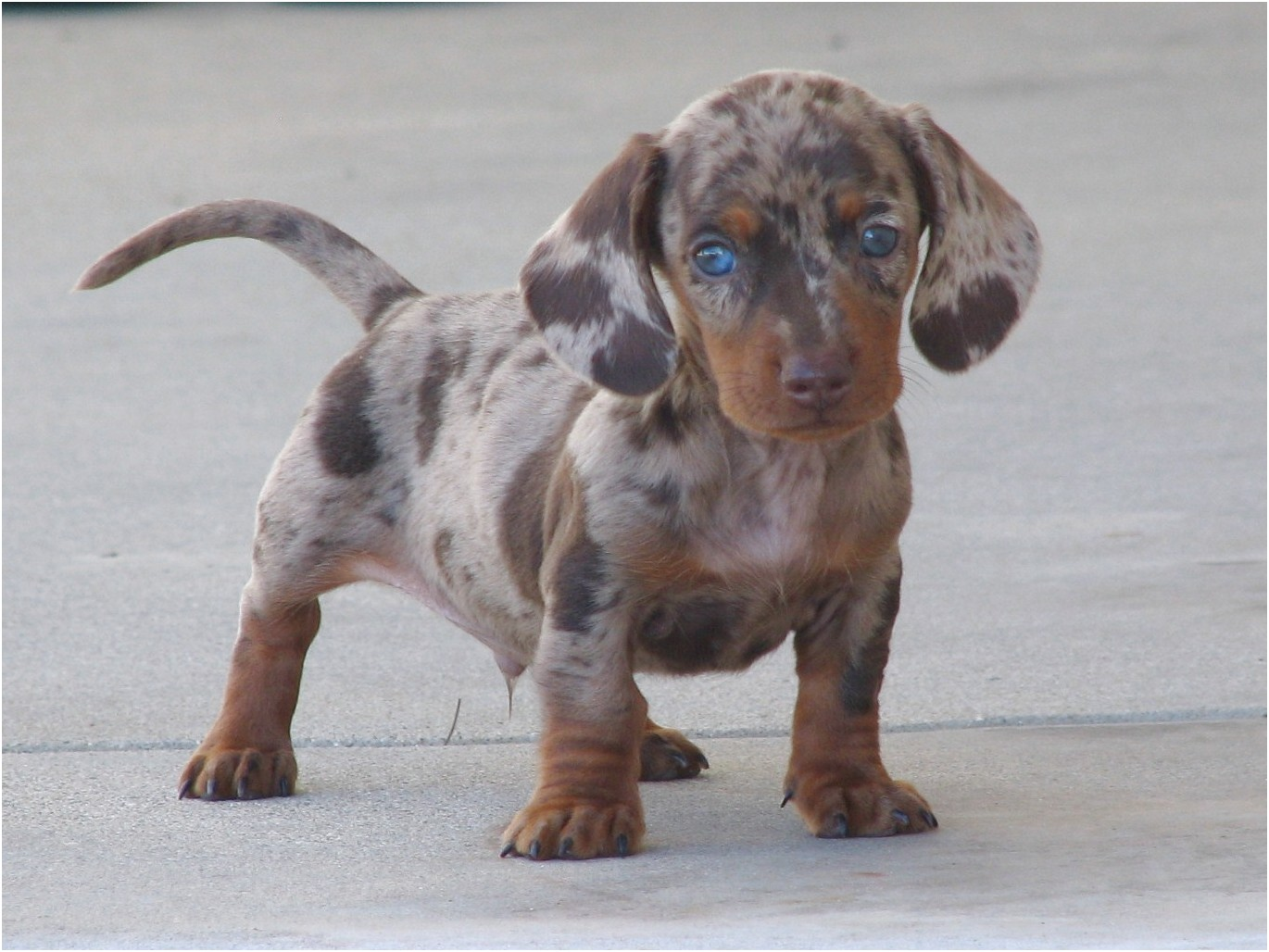 pictures of mini dachshund puppies