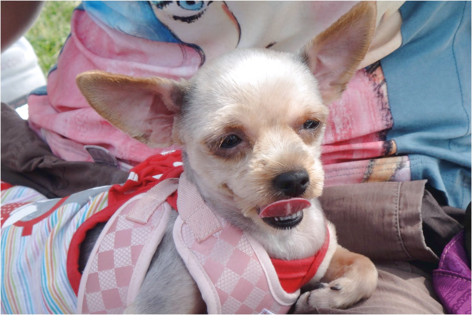 pictures of shaved yorkshire terriers
