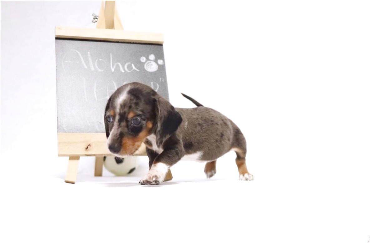 pictures of teacup dachshund puppies