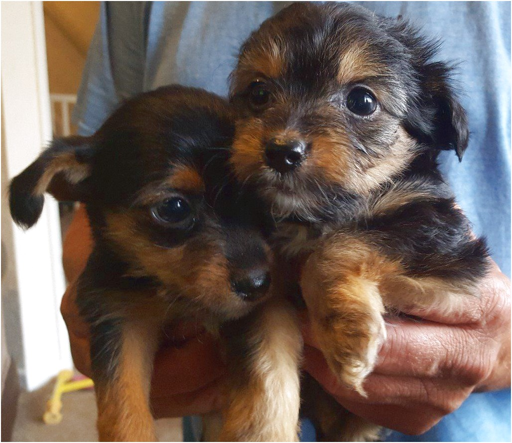 pictures of yorkshire terrier cross jack russell