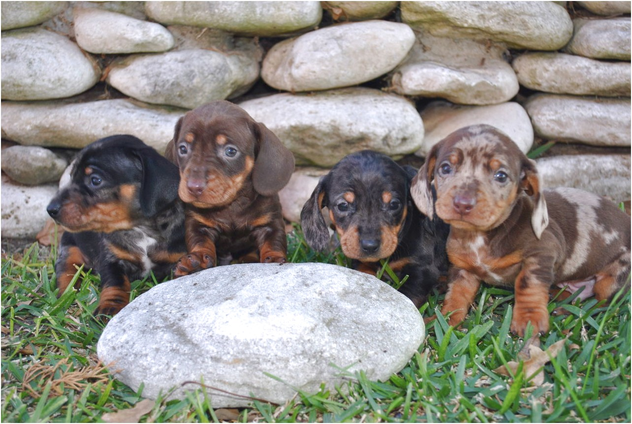 piebald dachshund puppies for sale in texas