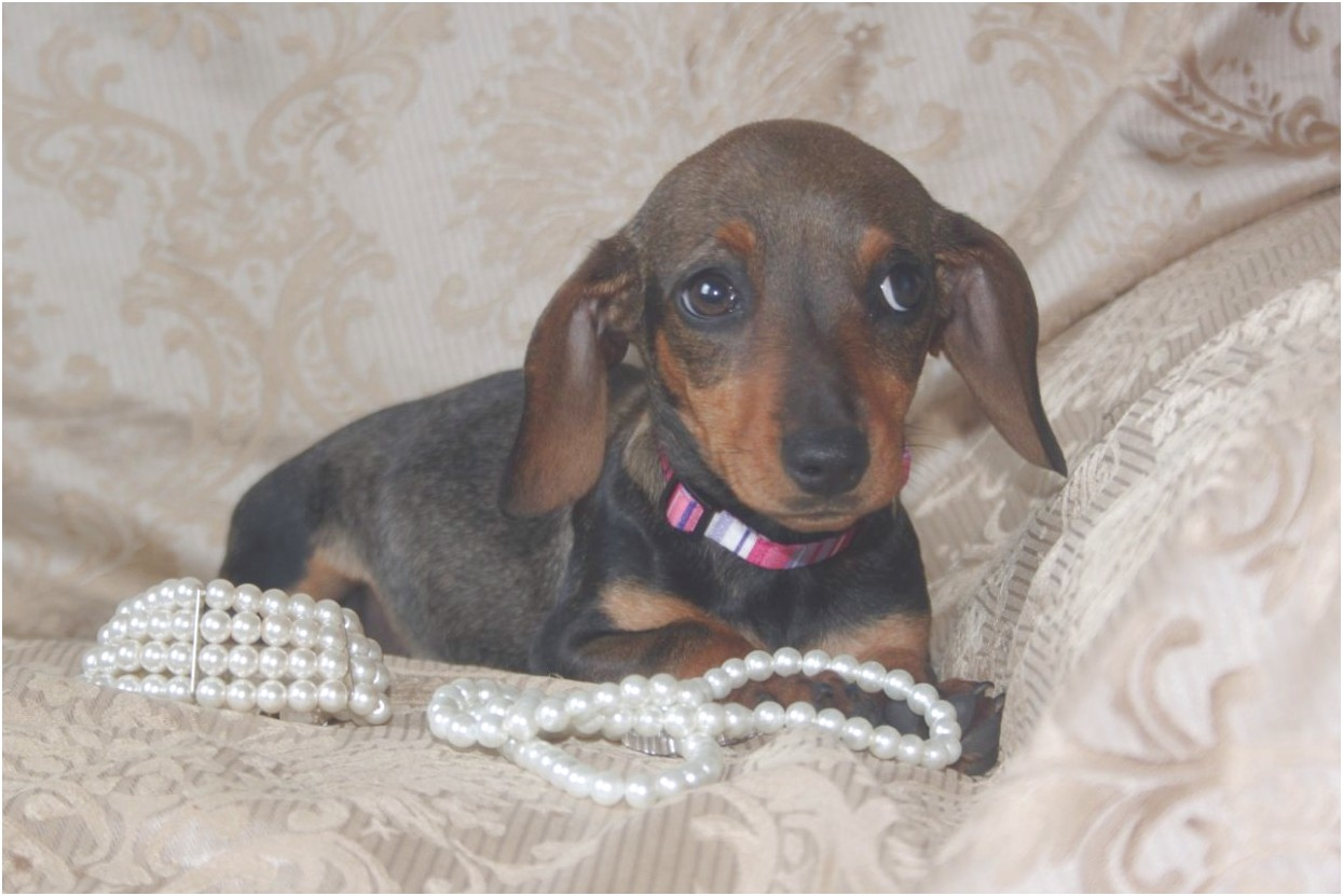 piebald dachshund puppies for sale nc