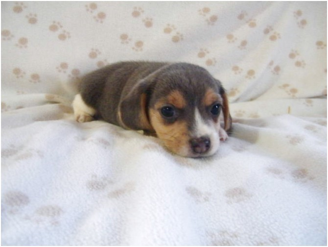 pocket beagle for sale bc
