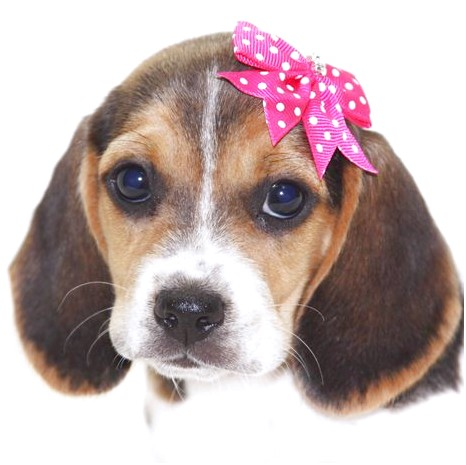 Pocket Beagle Puppies For Sale Bc