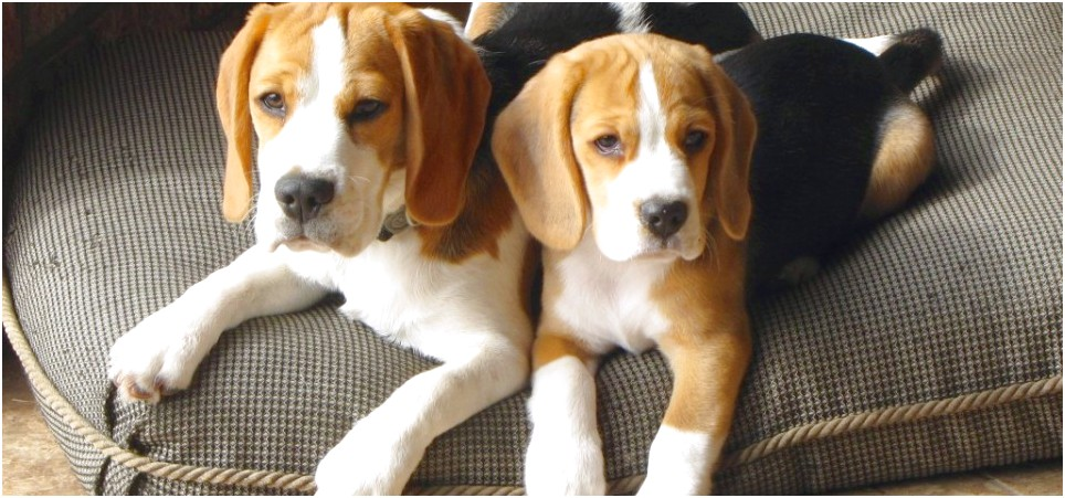 pocket beagle puppies for sale florida