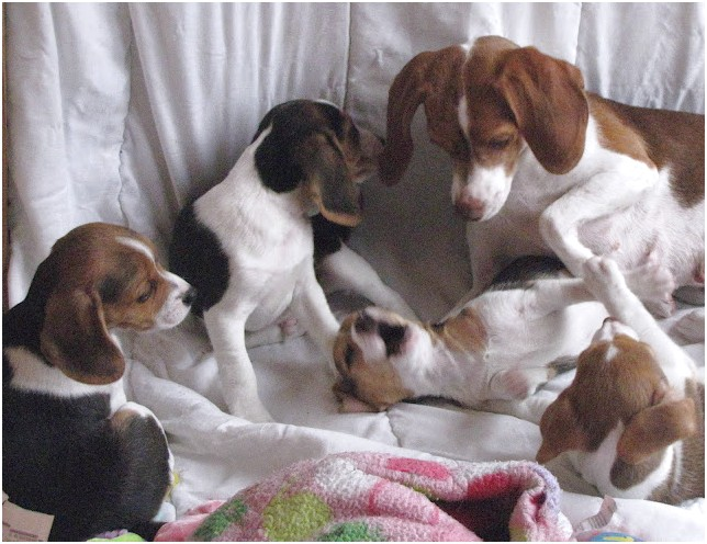 Pocket Beagle Puppies For Sale In California