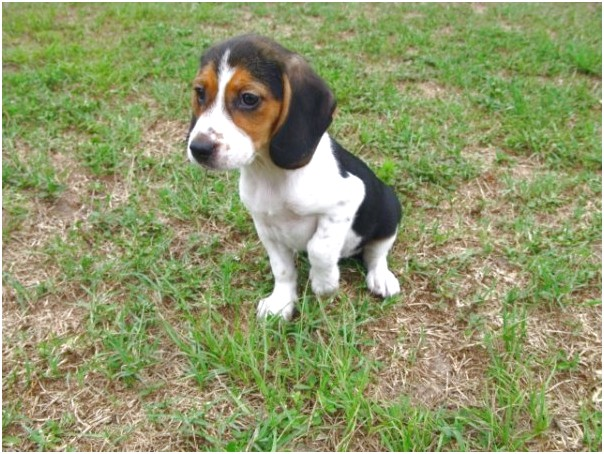 pocket beagle puppies for sale in ga