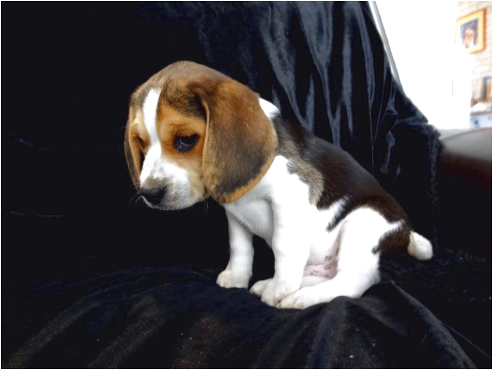 Pocket Beagle Puppies For Sale In Ky