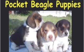 pocket beagle puppies for sale in michigan