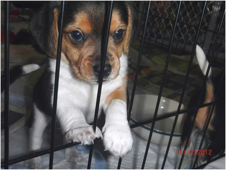 Pocket Beagle Puppies For Sale In Mn