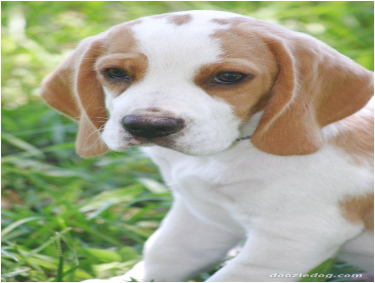 pocket beagle puppies for sale in southern california