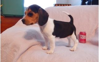 pocket beagle puppies for sale melbourne