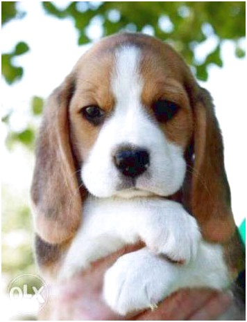 pocket beagle puppies for sale price