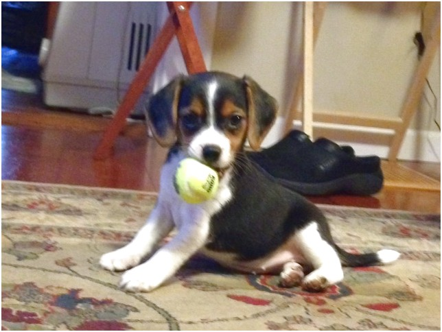pocket beagle puppies for sale tampa fl