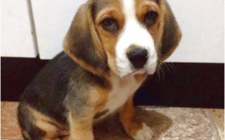pocket beagles for sale houston tx