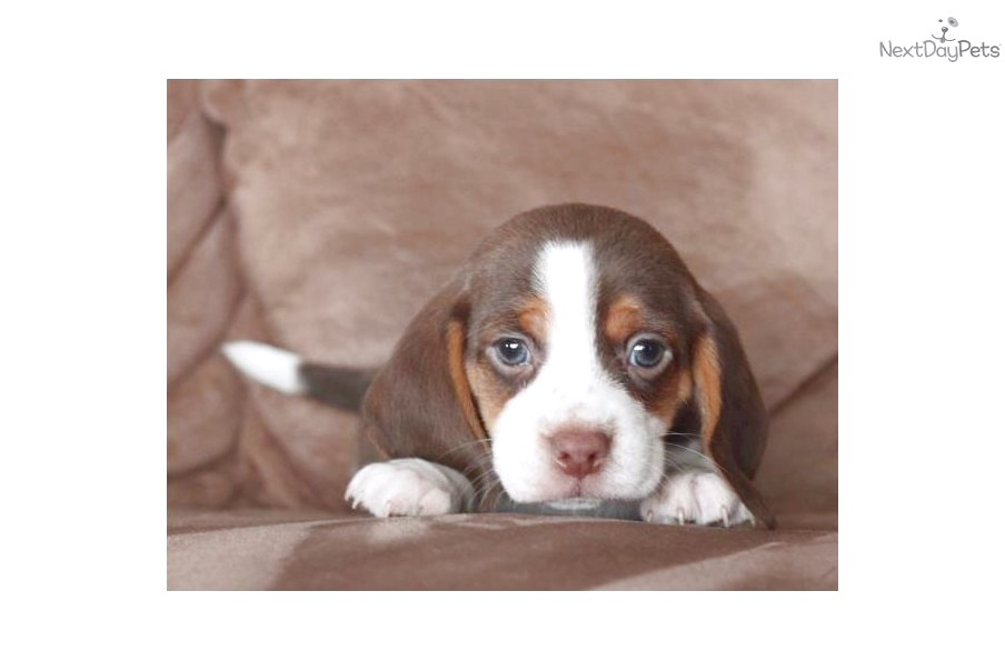 pocket beagles for sale in nebraska