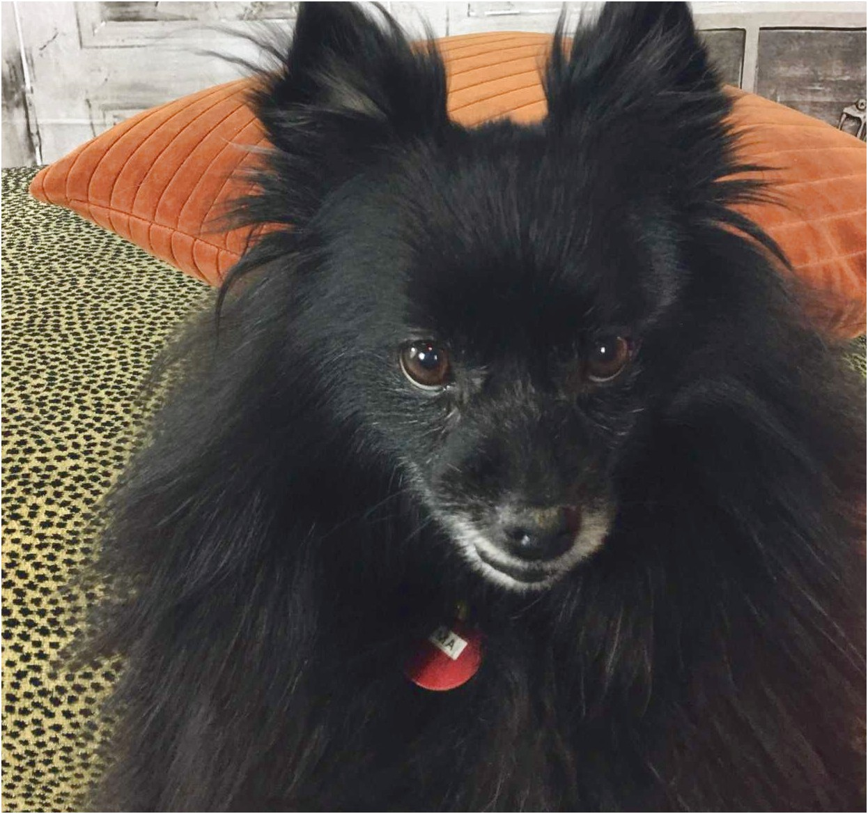 pomeranian adoption dfw