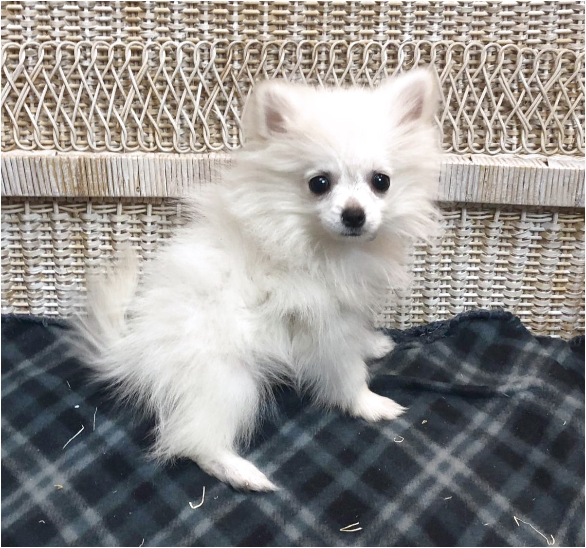 pomeranian for adoption denver