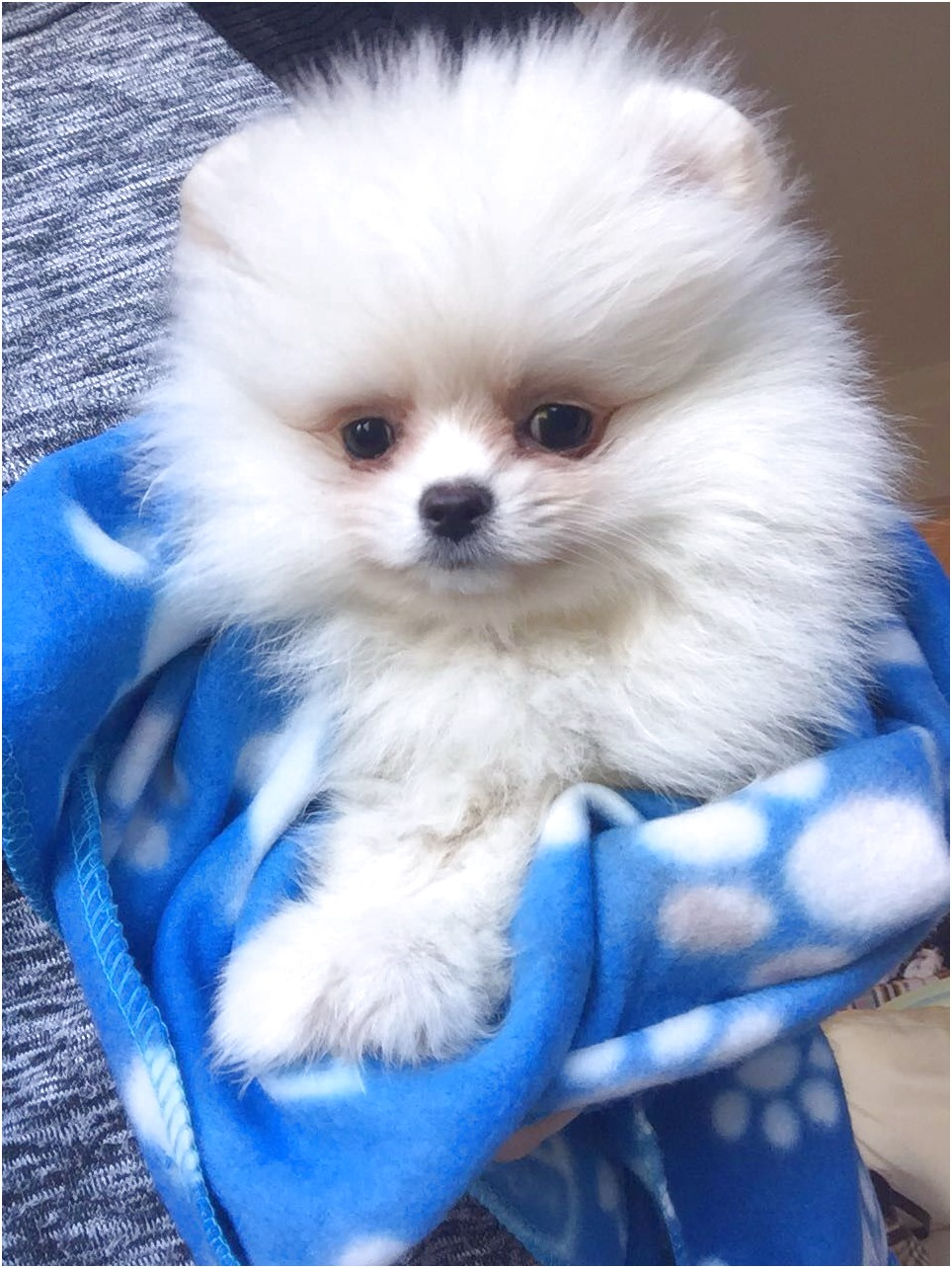 pomeranian for adoption london
