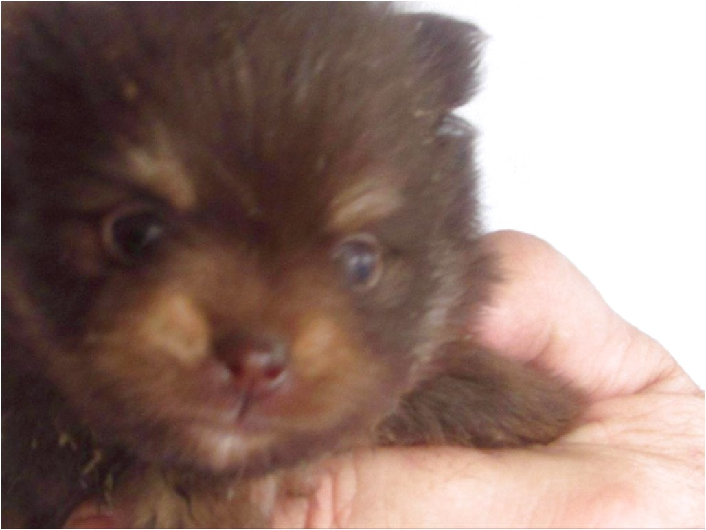 pomeranian puppies for sale jackson ms