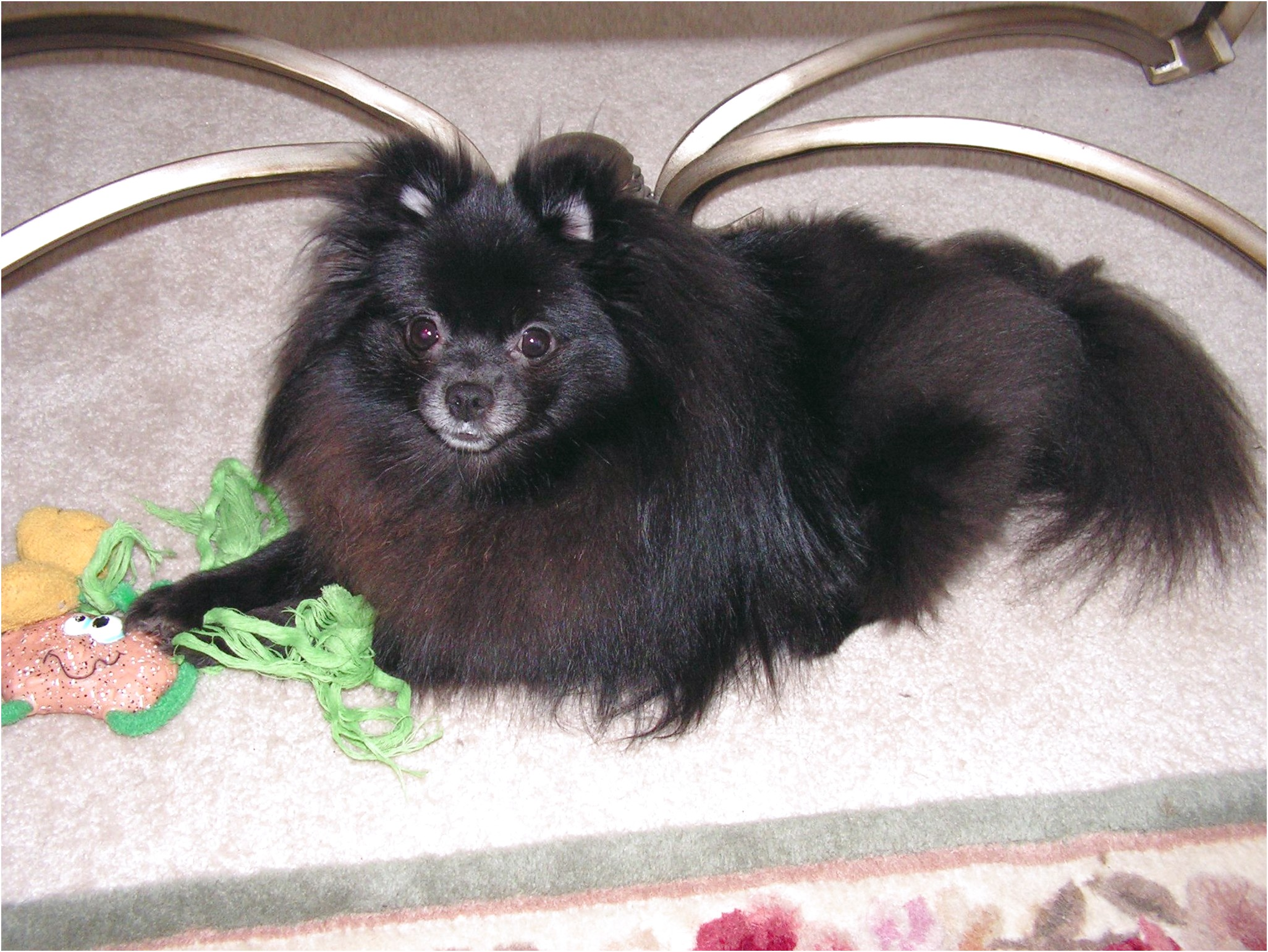 pomeranian puppies for sale sc