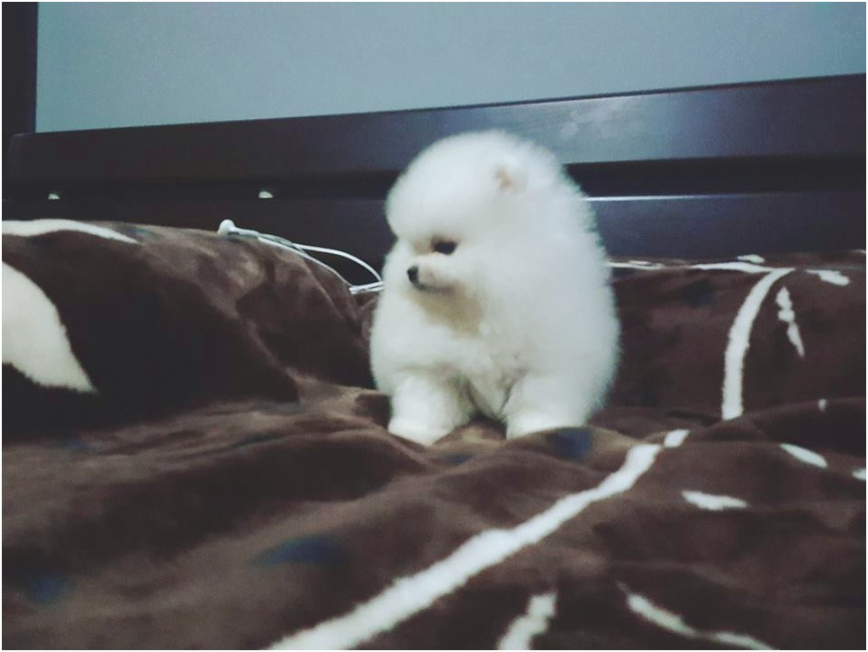 pomeranian puppies for sale tucson az