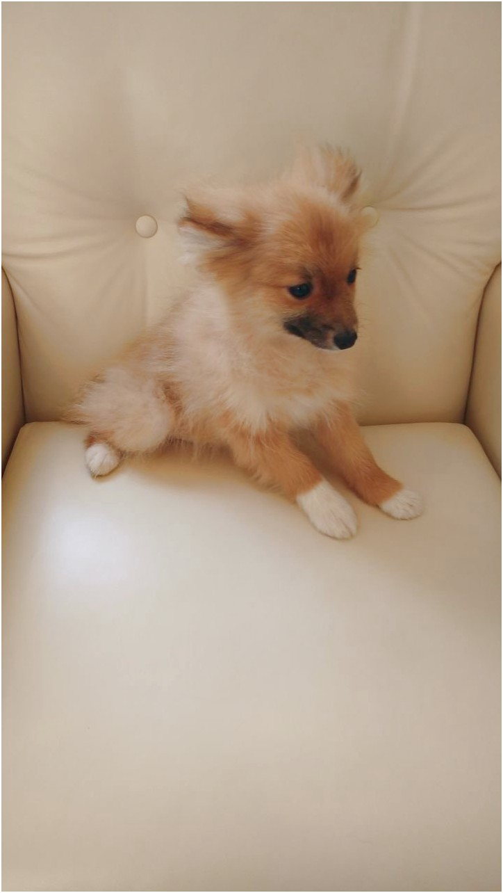 pomeranian puppies for sale york pa