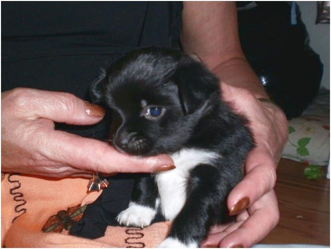 pomeranian puppy for sale kansas