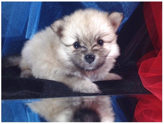 pomeranian puppy for sale ontario