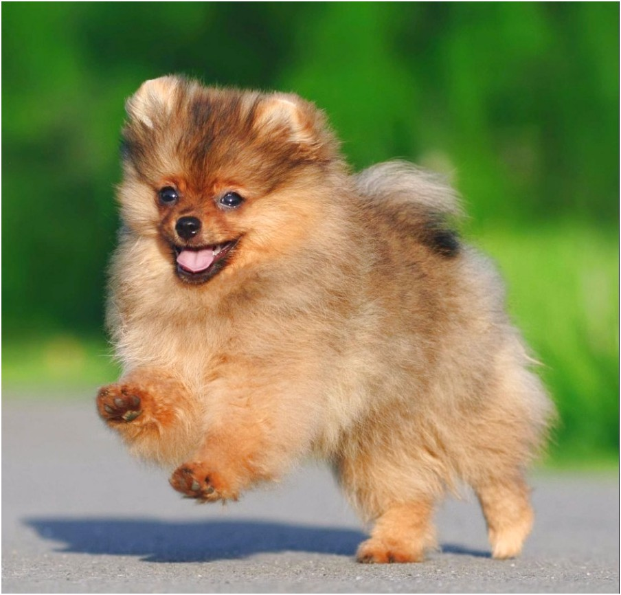pomeranian x chihuahua puppies for sale melbourne