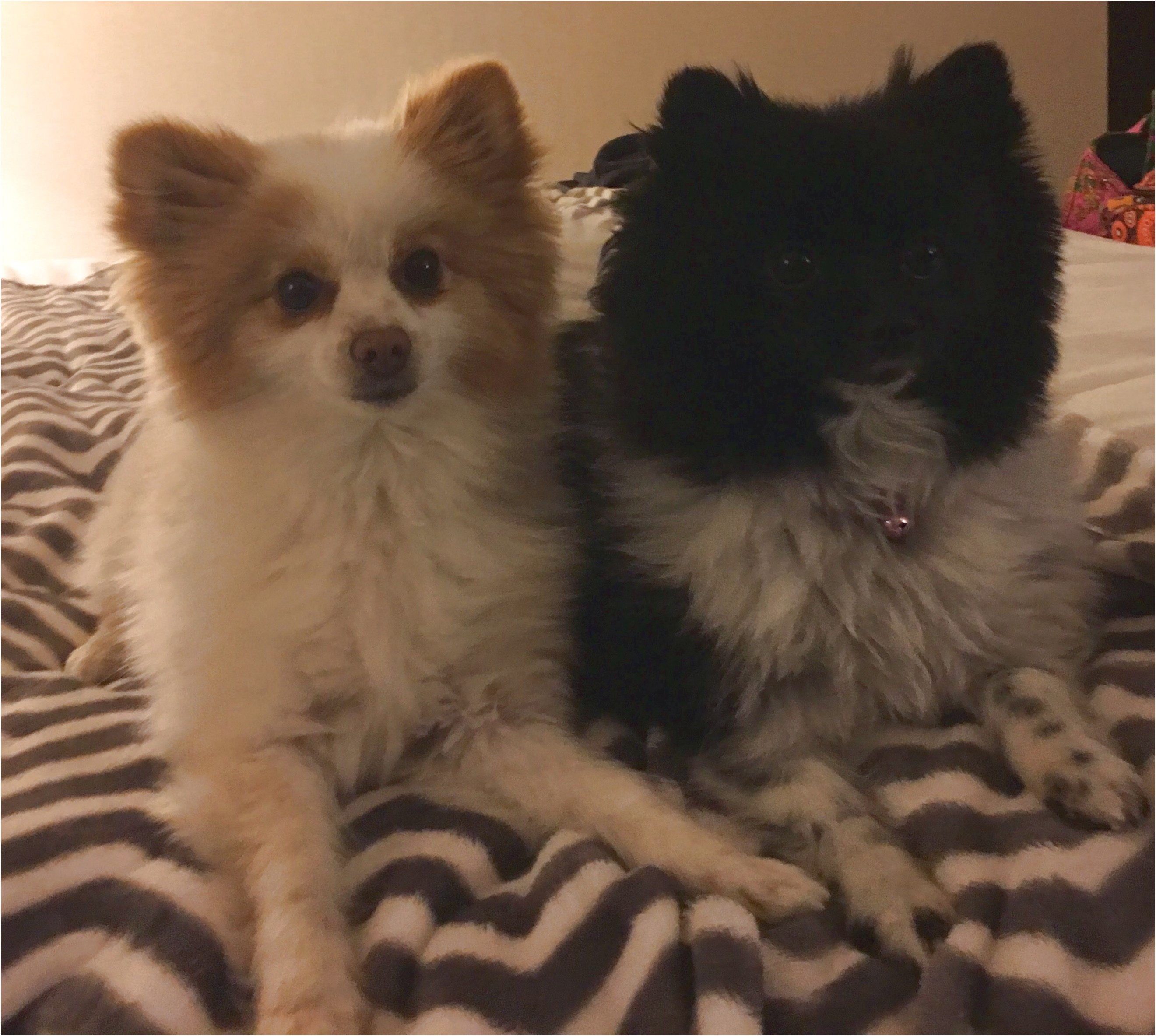 pomeranians for adoption ca