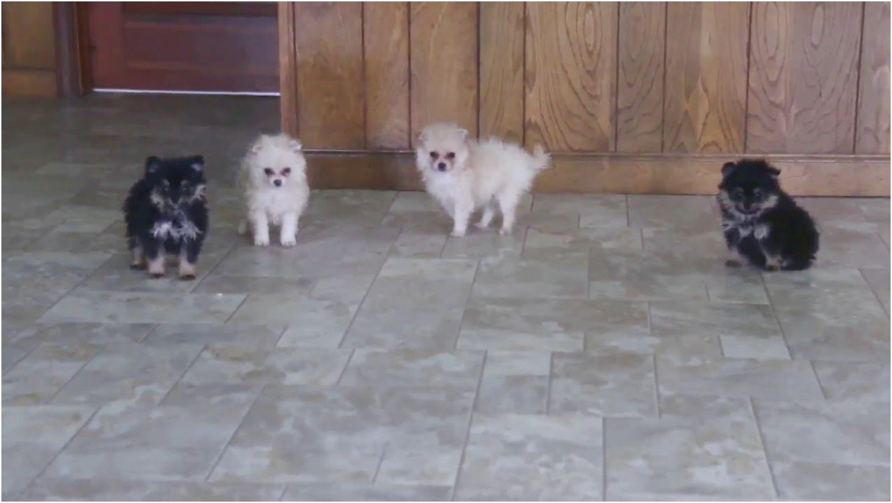 pomeranians for adoption in connecticut