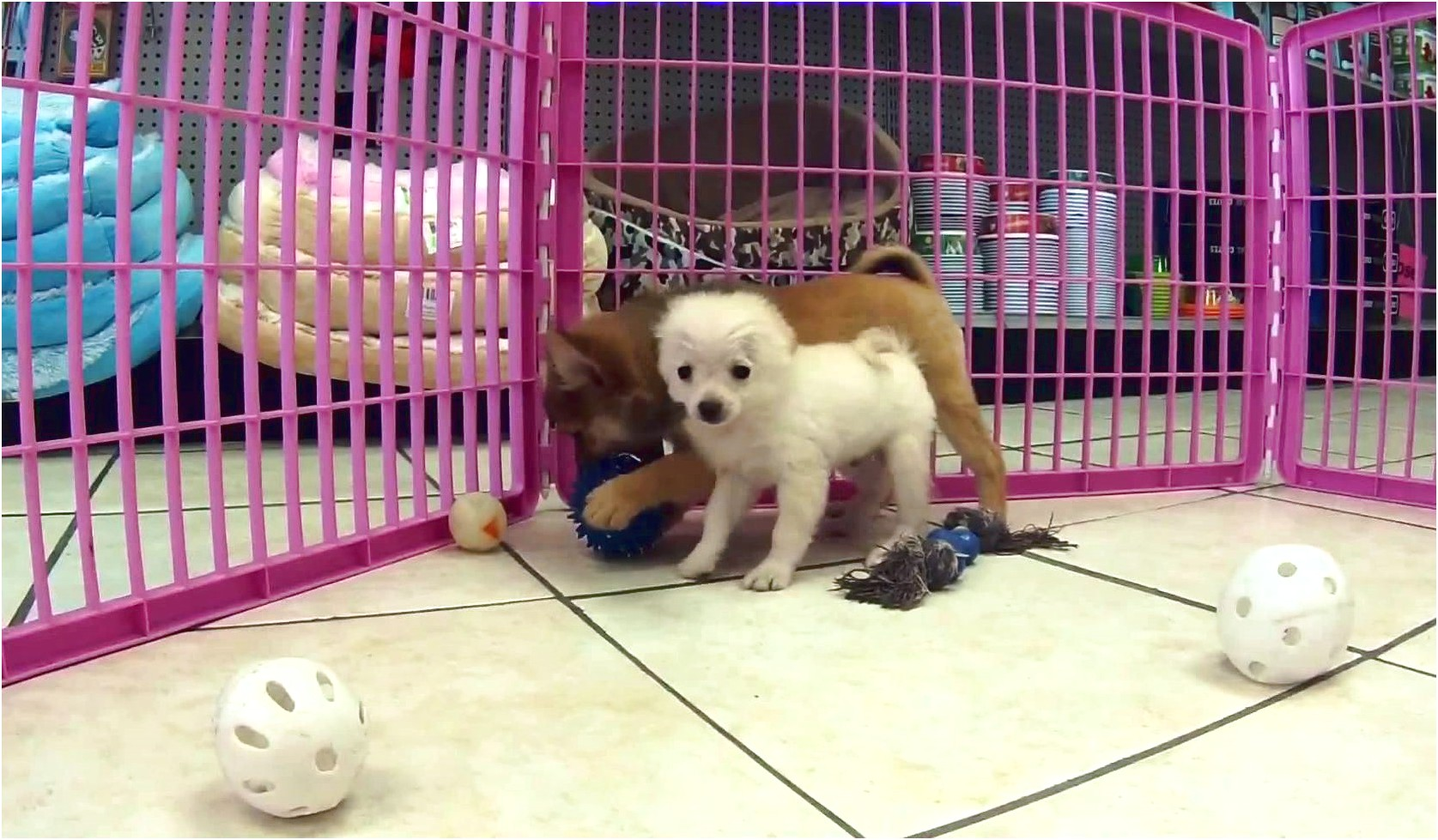 pomeranians for adoption in maine