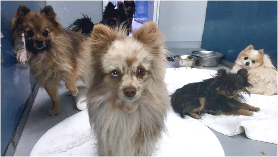 pomeranians for adoption in md