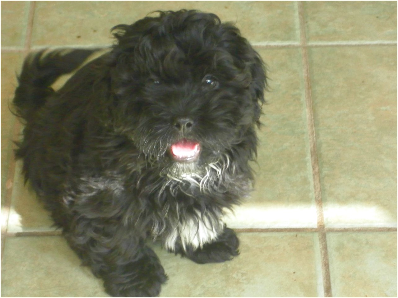 poodle x shih tzu puppies for sale
