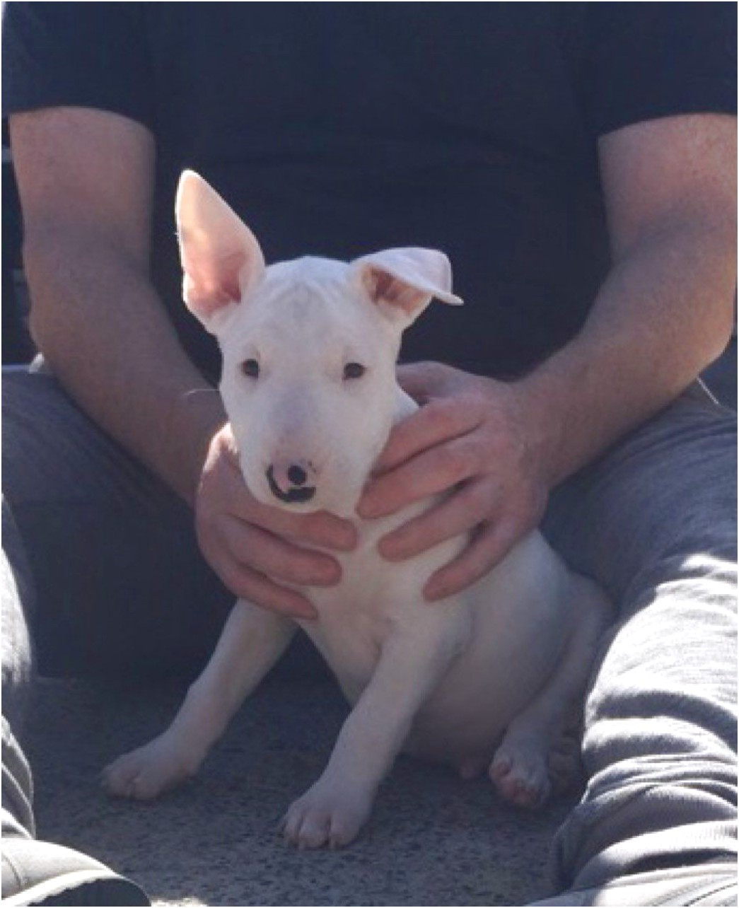 price of english bull terrier pups