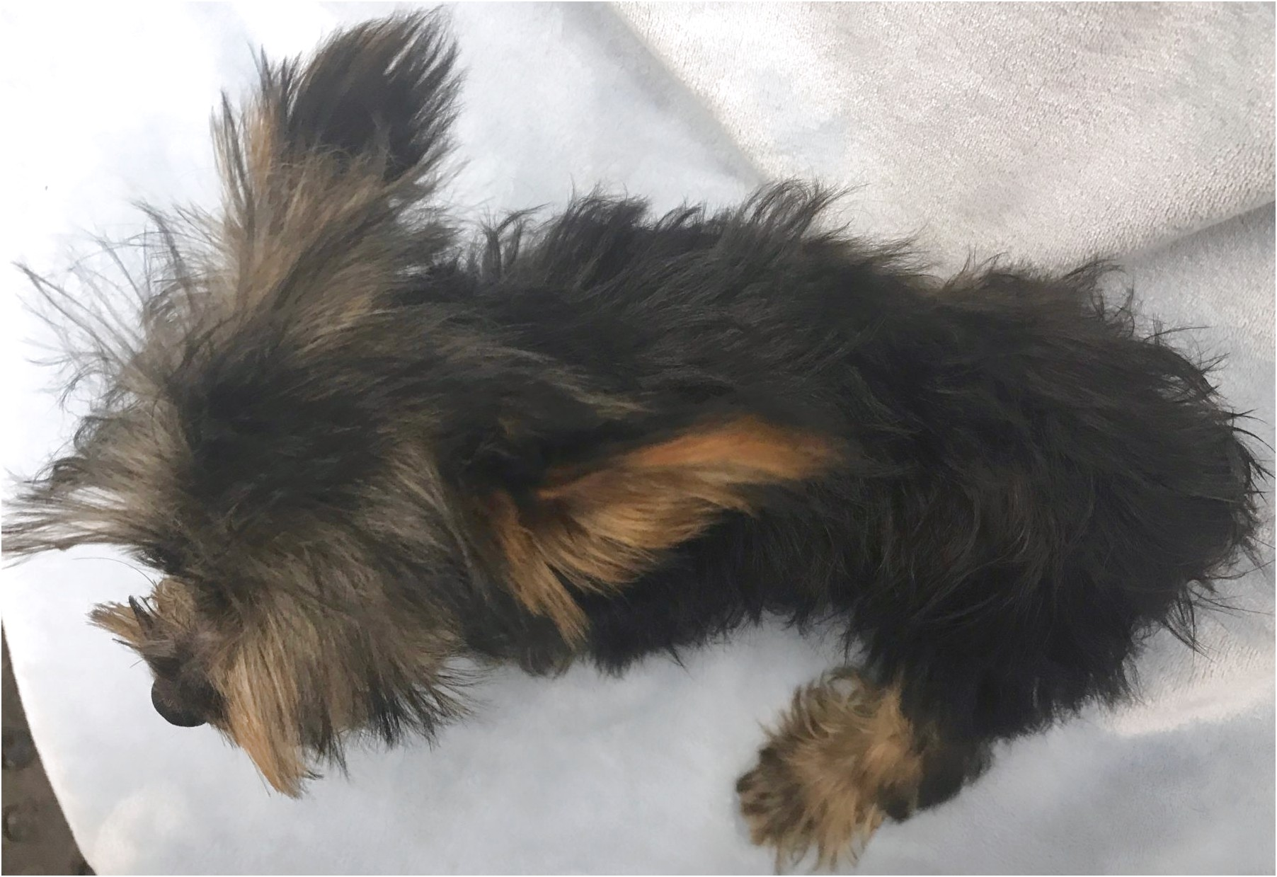 price of yorkshire terrier puppies