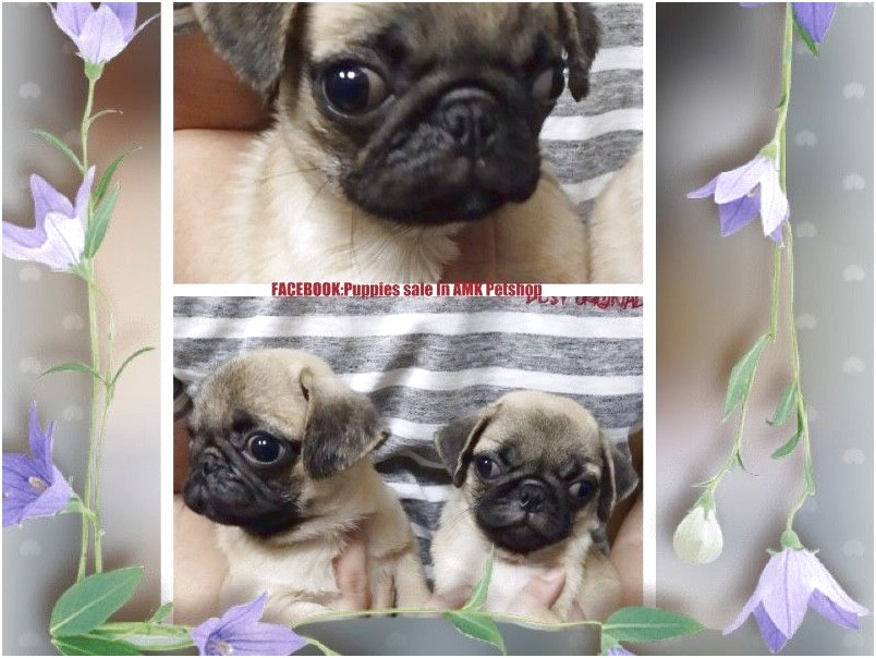 pug puppies for sale or adoption near me