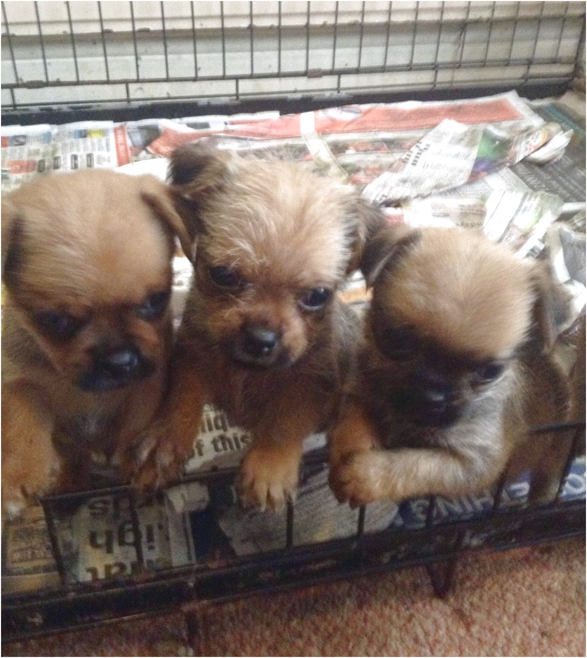 pug x yorkshire terrier puppies