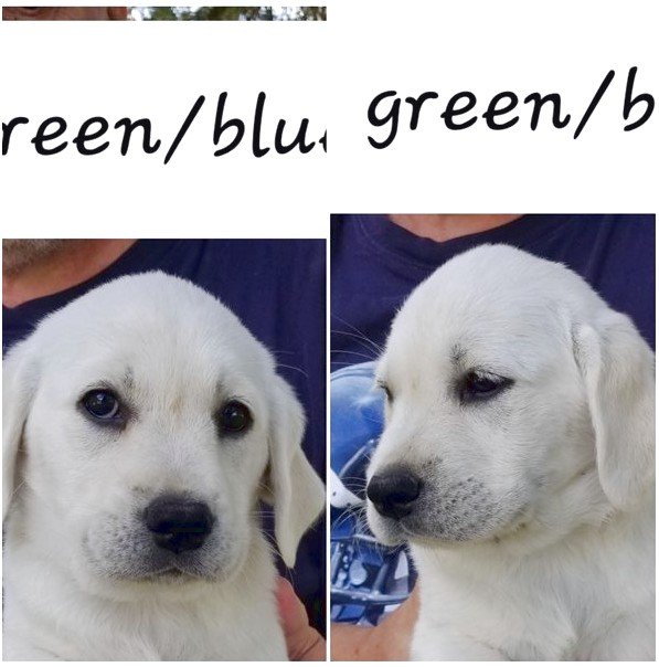 puppies for sale near quad cities